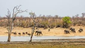Afrikanische gehende Buschelefanten, in Kruger-Park, Südafrika Lizenzfreie Stockbilder