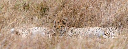 Afrikanische Geparde lizenzfreie stockbilder
