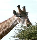 Afrikanische Giraffe Stockfoto