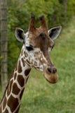 Afrikanische Giraffe auf einem Gebiet Stockbild