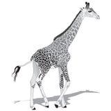 Afrikanische Giraffe BW Stockbilder