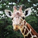 Afrikanische Giraffe, die in den Zoo von Erfurt-Stadt geht Stockfotografie
