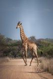 Afrikanische Giraffe, die einen Schotterweg kreuzt stockfoto