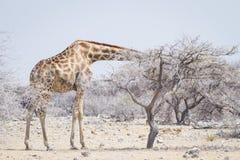 Afrikanische Giraffe in Etosha, das seinen Kopf in einen staubigen Baum haftet Stockbilder