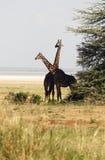 Afrikanische Giraffefamilie Lizenzfreies Stockfoto