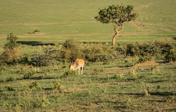 Afrikanische Hanfantilopen auf Masai Mara in Kenia Stockbild