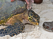 Afrikanische Hawksbill Schildkröte Lizenzfreies Stockfoto