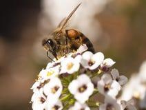 Afrikanische Honigbiene auf weißer Blume Stockfotos