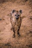 Afrikanische Hyäne im Zoo stockfotografie