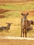 Afrikanische Impala Stockfoto