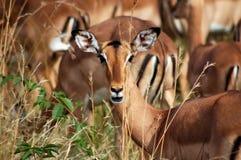 Afrikanische Impala-Rotwild Lizenzfreie Stockbilder