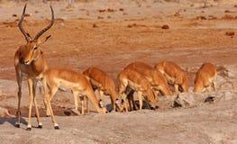 Afrikanische Impalas   Lizenzfreies Stockfoto