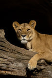 Afrikanische Löweaufwartung Stockbild
