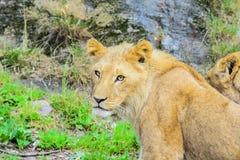 Afrikanische Löwejunge Stockfoto