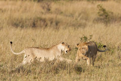Afrikanische Löwen Lizenzfreies Stockbild