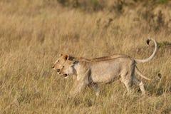 Afrikanische Löwen Stockbild