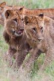 Afrikanische Löwen Stockfotografie