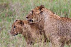 Afrikanische Löwen Stockfotos