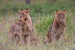 Afrikanische Löwen Lizenzfreie Stockfotografie