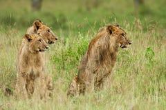 Afrikanische Löwen Lizenzfreie Stockbilder
