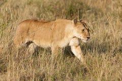 Afrikanische Löwin Lizenzfreie Stockfotografie