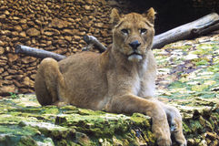 Afrikanische Löwin Stockfotos