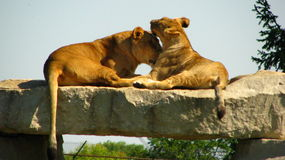 Afrikanische Löwin, die ihr Junges auf einer Felsenleiste leckt Lizenzfreie Stockfotografie