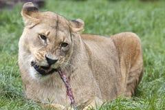 Afrikanische Löwin, die Mahlzeit isst Stockbilder