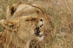 Afrikanische Löwin, die Zähne zeigt Stockbilder
