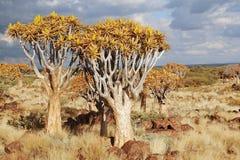 Afrikanische Landschaft des Bebenbaumwaldes, kokerbooms in Namibia, Beschaffenheit von Afrika stockbild