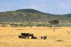 Afrikanische Landschaft mit Antilope Gnus stockfotografie