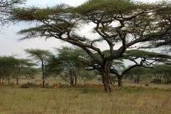 Afrikanische Landschaft mit Impalas Stockfotografie