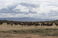 Afrikanische Landschaft mit Wildebeestherde Stockbilder