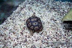Afrikanische Leopard-Schildkröte Stockfoto