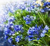 Afrikanische Lilie, blaue Blumen Ausführliche vektorzeichnung lizenzfreies stockfoto