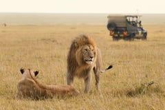 Afrikanische Löwepaare und Safarijeep Stockfotografie