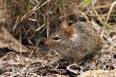 Afrikanische Maus Stockbild
