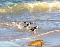 Afrikanische mehrfache Pinguine des Pinguins (Spheniscus demersus), die vom Ozean, Westkap, Südafrika zurückgehen Stockfotografie