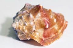Afrikanische Muschel Stockfoto