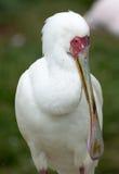 Afrikanische Nahaufnahme des Spoonbill (Platalea alba) Stockfotos