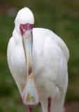 Afrikanische Nahaufnahme des Spoonbill (Platalea alba) Lizenzfreie Stockfotografie