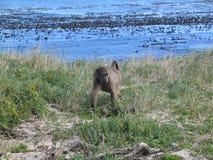 Afrikanische Natur, Affe auf Seeseite Stockfotos