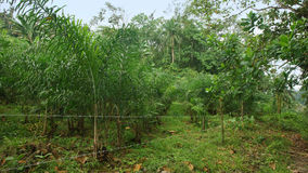 Afrikanische Palmenbearbeitung in der Wolkenwaldfläche Stockbild