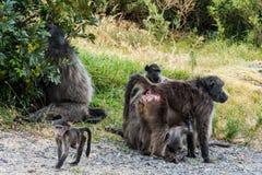 Afrikanische Pavianfamilie Stockbilder