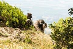 Afrikanische Pavianfamilie Lizenzfreie Stockfotos