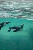 Afrikanische Pinguine Lizenzfreie Stockbilder