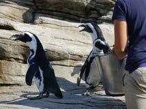 Afrikanische Pinguine 25 Lizenzfreie Stockfotos