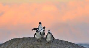 Afrikanische Pinguine auf dem Flussstein im Sonnenuntergang beleuchten Himmel Stockfotos