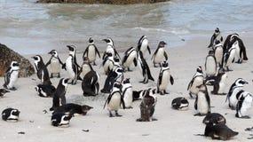 Afrikanische Pinguine auf Flussstein-Strand, Cape Town Lizenzfreie Stockfotografie