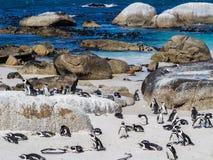 Afrikanische Pinguine auf Flusssteinen setzen in Simons Stadt, Südafrika auf den Strand stockfotografie